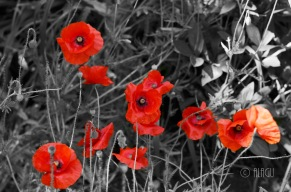 © ALAGU - Poppies